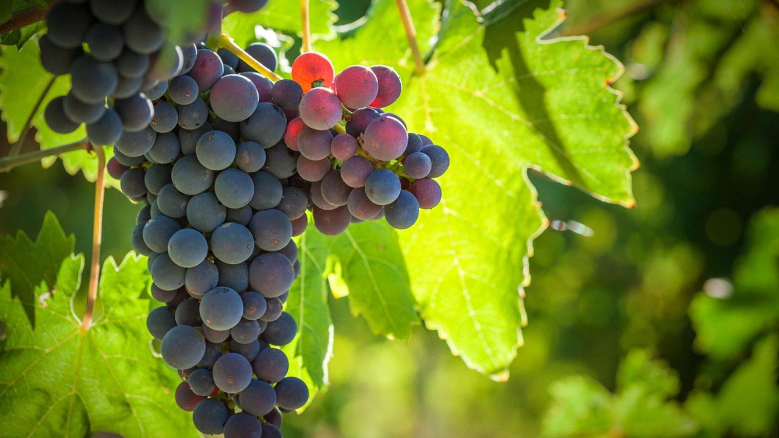 Leonardo's Vineyard