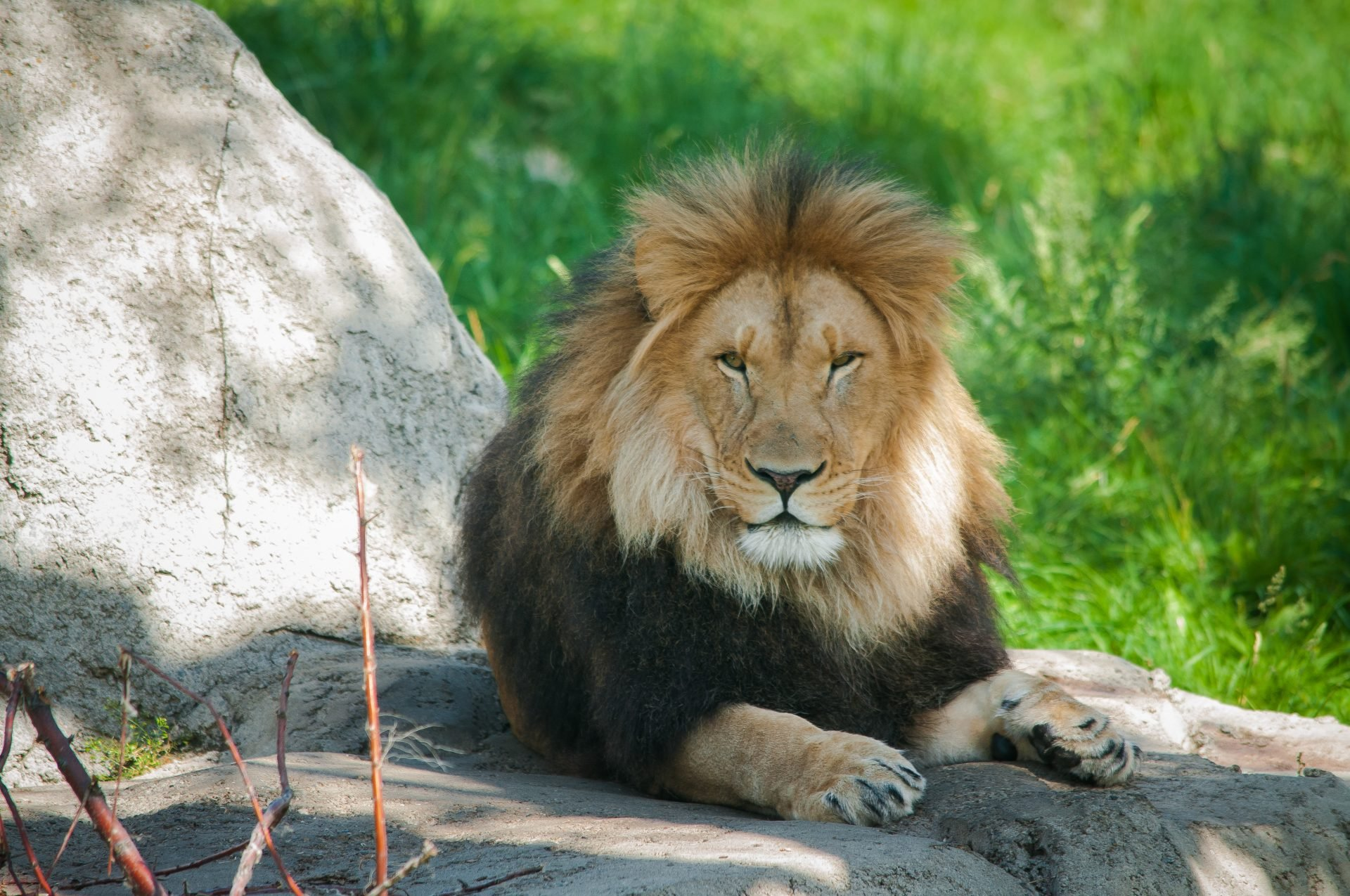 A Lion at the London Zoo