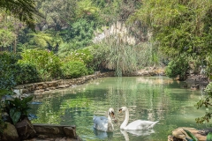 Follow the winding pathways as our swans glide into view at Hotel Bel-Air